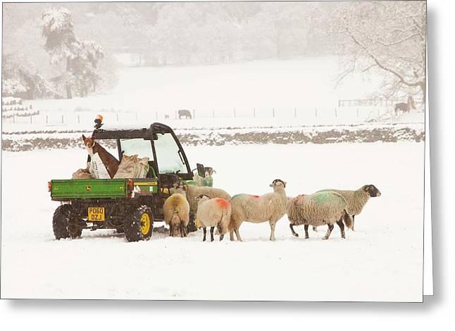 Farmer Feeding Sheep In Winter Greeting Card by Ashley Cooper