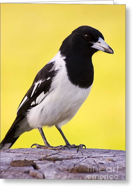 Fencepost Magpie Greeting Card