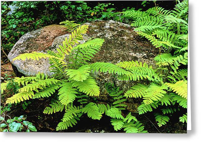 Fern Leaves And Rock In A Forest, Swift Greeting Card