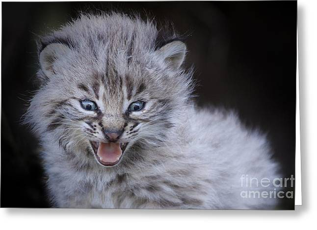 Fierce Little Bobcat Greeting Card by Sharon Ely