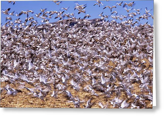 Flock Of Snow Geese Flying, Bosque Del Greeting Card by Panoramic Images