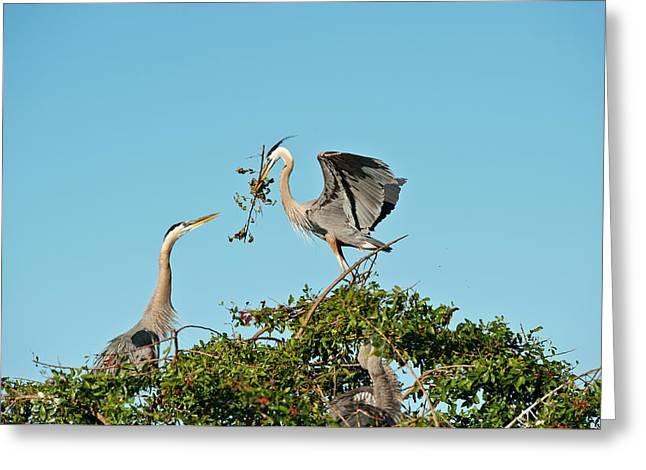 Florida, Venice, Great Blue Heron Greeting Card by Bernard Friel