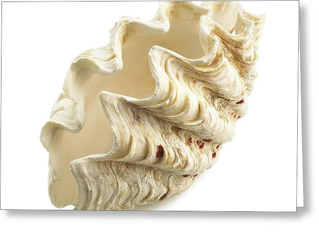 Fluted Giant Clam Shell Greeting Card