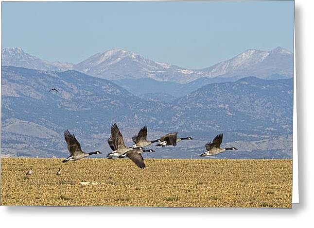Flying Canadian Geese Colorado Rocky Mountains 1 Greeting Card by James BO  Insogna