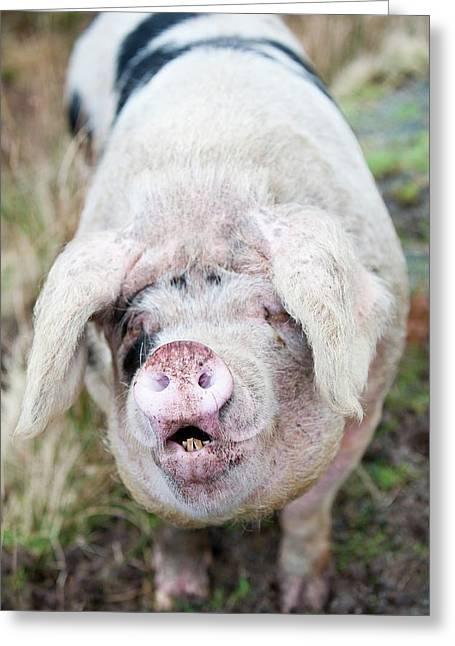 Free Range Pig Greeting Card by Ashley Cooper