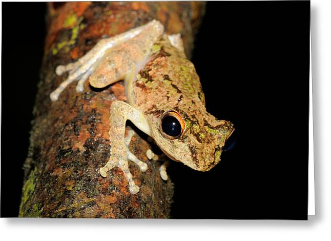 Frilled Tree Frog, Malaysia Greeting Card by Fletcher & Baylis