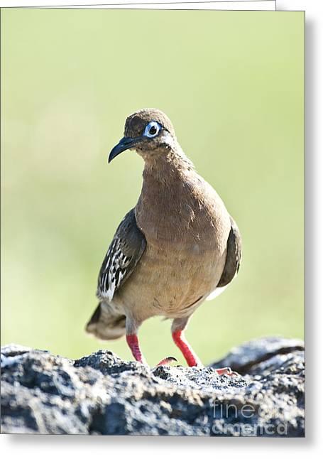 Galapagos Dove Greeting Card