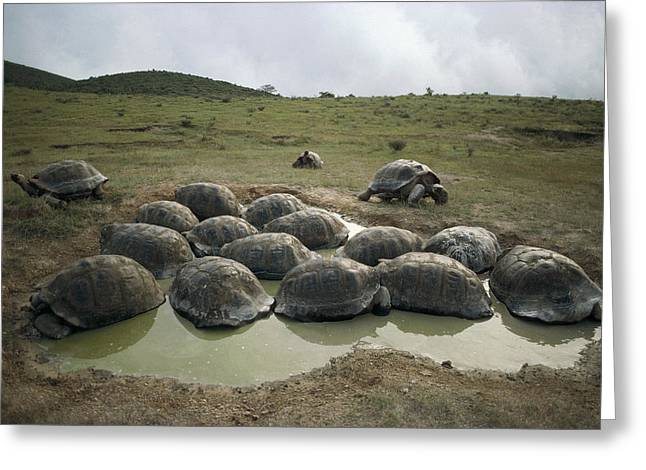 Galapagos Giant Tortoises Wallowing Greeting Card by Tui De Roy