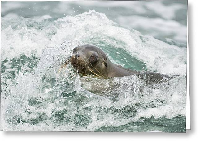 Galapagos Sea Lion Surfing Mosquera Greeting Card by Tui De Roy