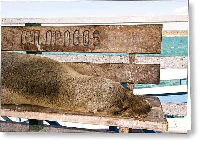 Galapagos Sea Lion Greeting Card by William H. Mullins