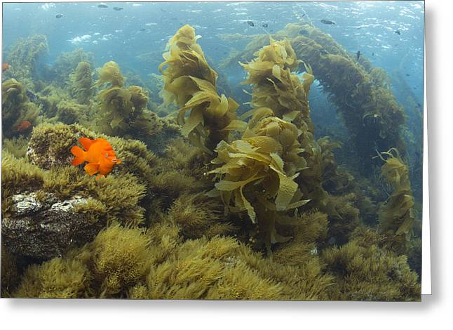 Garibaldi In Giant Kelp Forest Catalina Greeting Card by Richard Herrmann