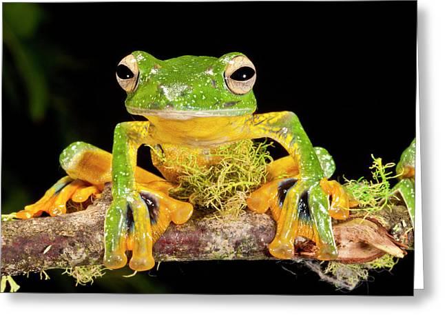 Giant Gliding Treefrog, Polypedates Kio Greeting Card by David Northcott