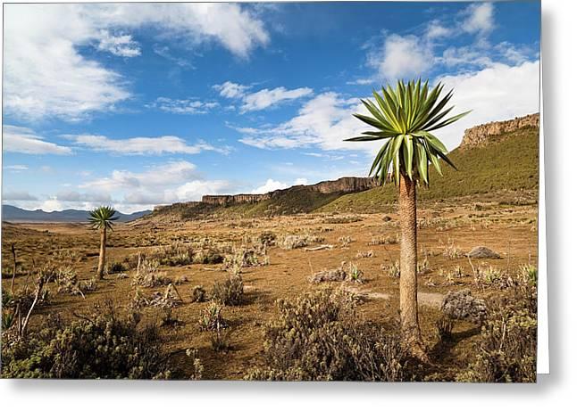 Giant Loebelia (lobelia Rhynchopetalum Greeting Card
