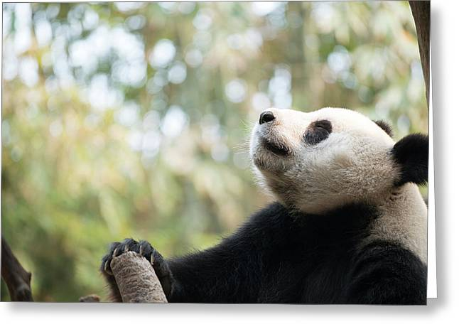 Giant Panda Greeting Card by Pan Xunbin