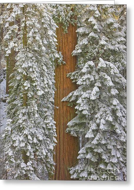 Giant Sequoias And Snow  Greeting Card