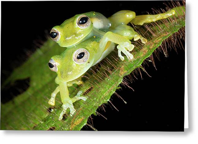 Glass-frogs Mating Greeting Card by Dr Morley Read
