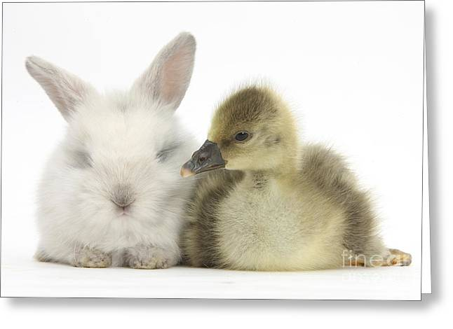 Gosling And Baby Bunny Greeting Card by Mark Taylor