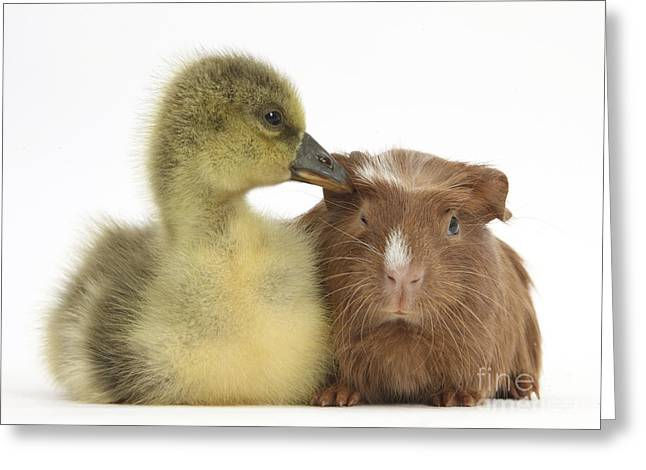 Gosling And Baby Guinea Pig Greeting Card