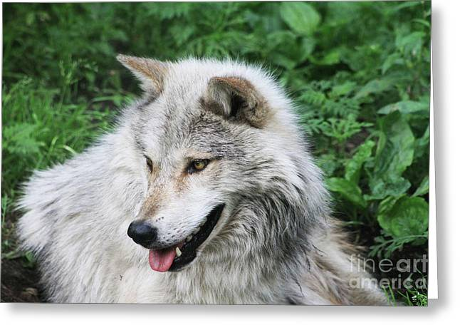 Greeting Card featuring the photograph Gray Wolf by Alyce Taylor