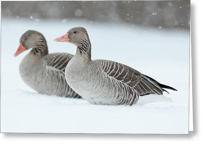 Graylag Goose (anser Anser Greeting Card by Martin Zwick
