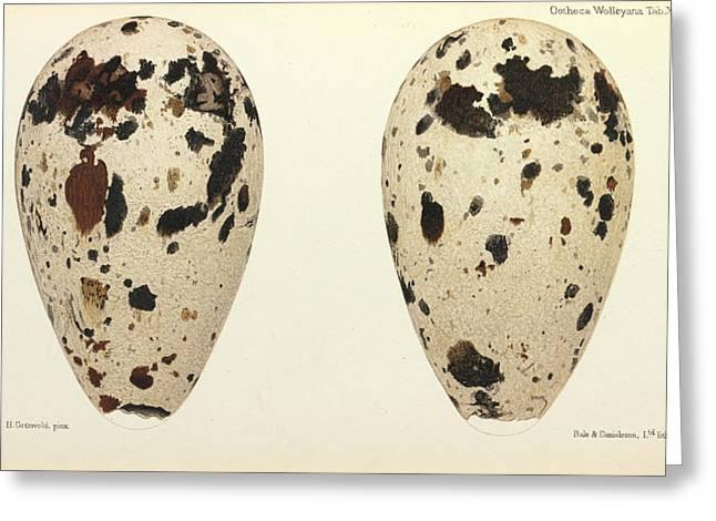Great Auk Eggs Greeting Card by Natural History Museum, London