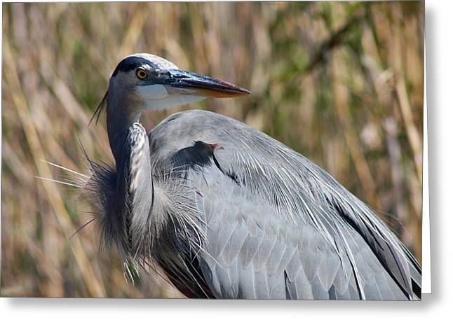 Great Blue Heron - Close Up Greeting Card by Christiane Schulze Art And Photography