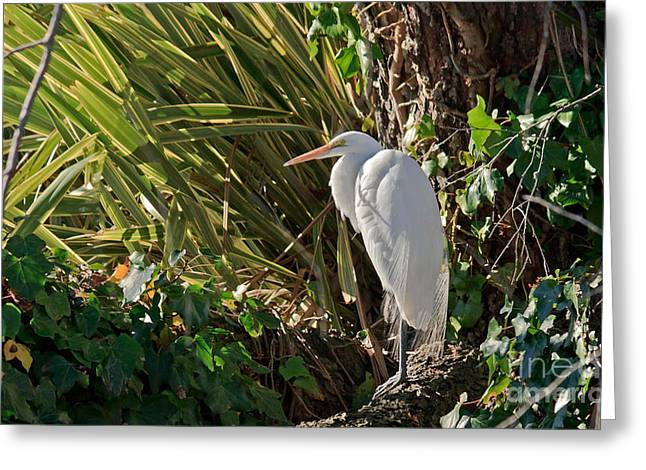 Greeting Card featuring the photograph Great Egret by Kate Brown