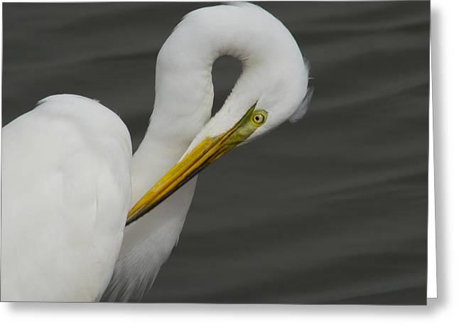Great Egret Preening Greeting Card