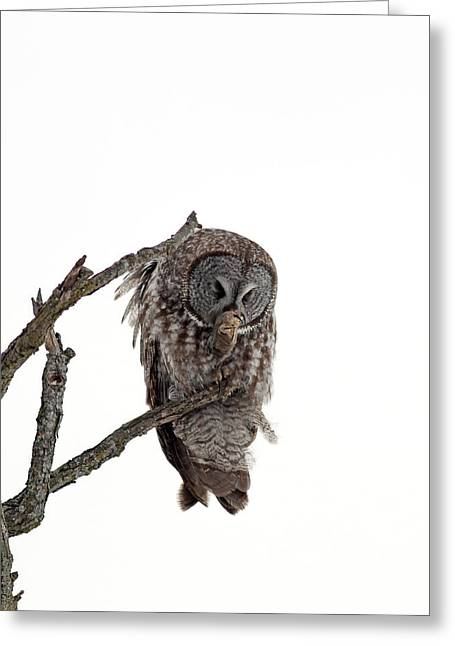 Great Grey Owl  Greeting Card by William Cooke