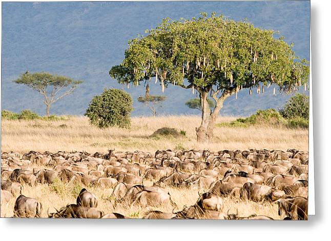 Great Migration Of Wildebeests, Masai Greeting Card by Panoramic Images