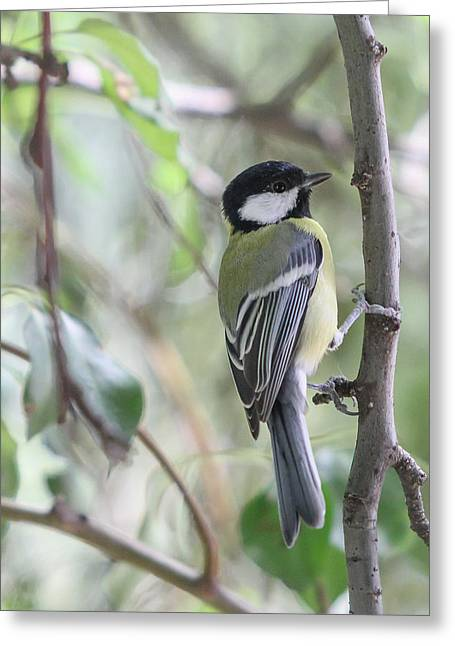 Greeting Card featuring the photograph Great Tit - Parus Major by Jivko Nakev