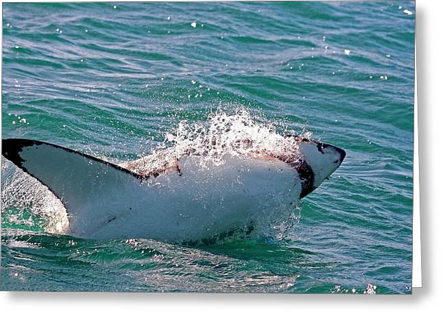 Great White Shark (carcharodon Greeting Card by Miva Stock