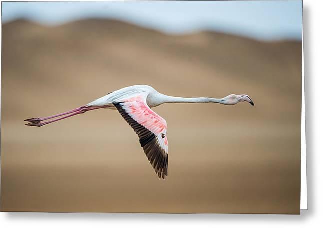 Greater Flamingo Phoenicopterus Roseus Greeting Card
