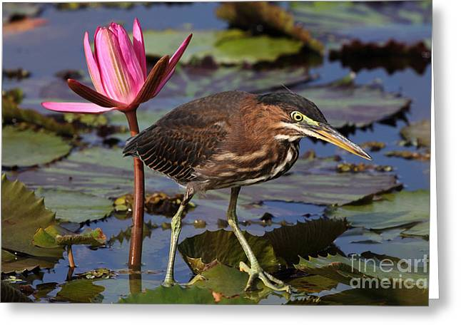 Green Heron Photo Greeting Card by Meg Rousher