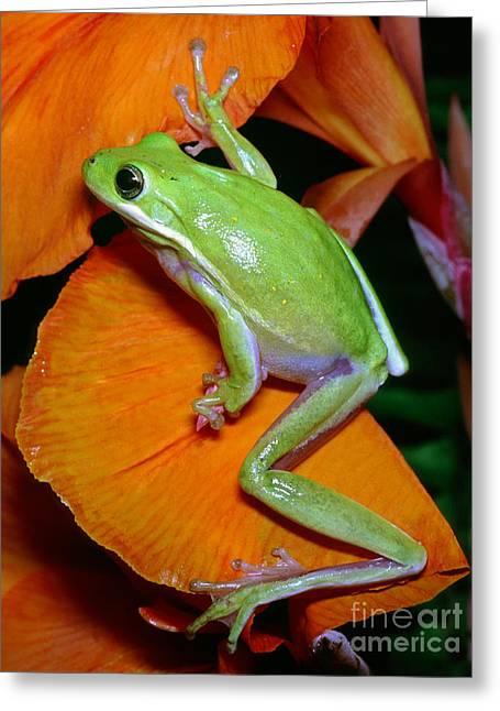 Green Tree Frog Greeting Card by Millard H Sharp