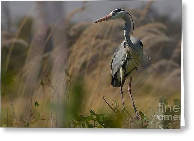 Grey Heron Greeting Card