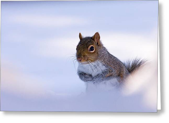 Grey Squirrel In Snow Greeting Card by Jeff Sinon