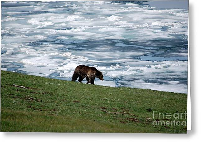 Greeting Card featuring the photograph Grizzly Bear On Frozen Lake Yellowstone by Shawn O'Brien