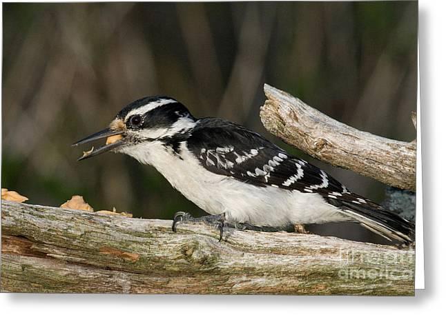Hairy Woodpecker Greeting Card by Linda Freshwaters Arndt