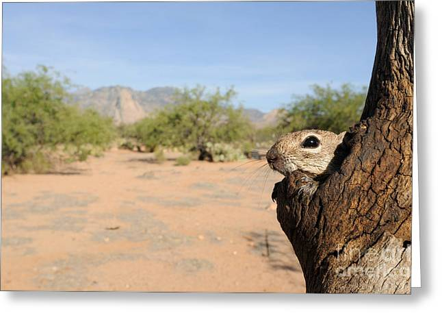 Harris Antelope Squirrel Greeting Card by Scott Linstead