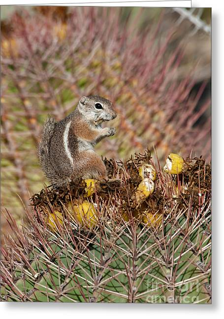Harriss Antelope Squirrel Greeting Card by Mark Newman