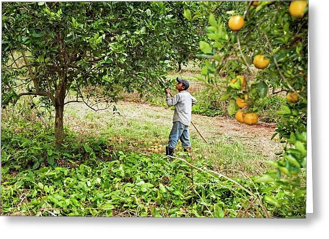Harvesting Oranges Greeting Card by Jim West