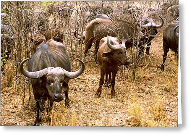 Herd Of Cape Buffaloes Syncerus Caffer Greeting Card by Panoramic Images