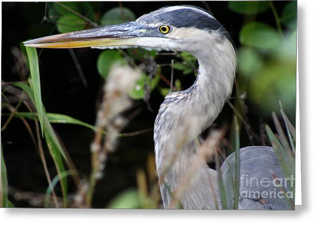 Heron Portrait Greeting Card by Christiane Schulze Art And Photography