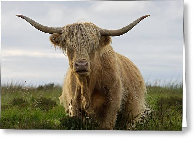 Highland Cow On Exmoor Greeting Card