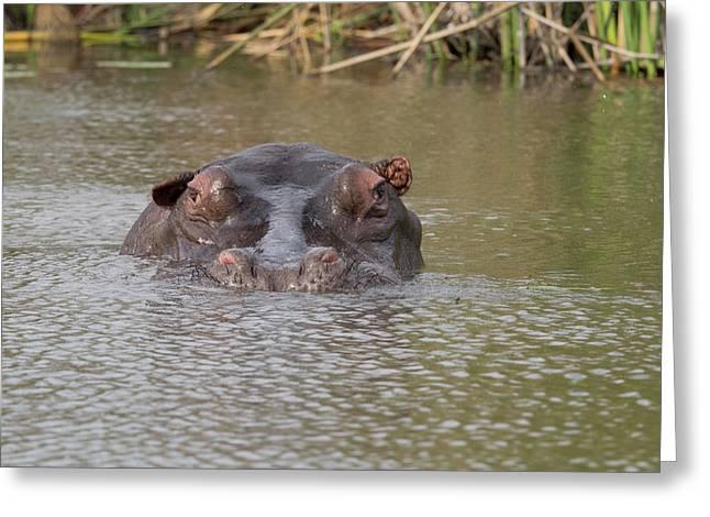 Hippopotamus Hippopotamus Amphibius Greeting Card by Panoramic Images