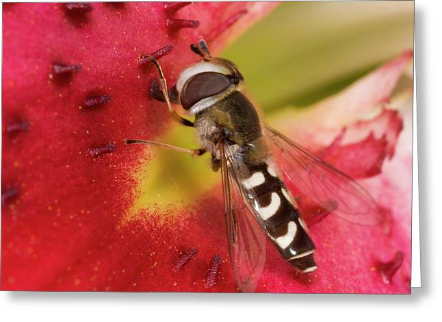Hover-fly Greeting Card by Nigel Downer