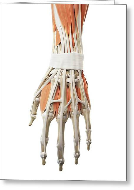 Human Hand Muscles Greeting Card by Sciepro