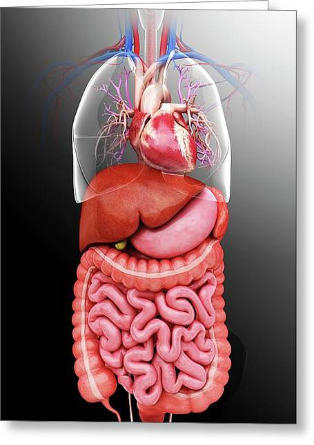 Human Internal Organs Greeting Card