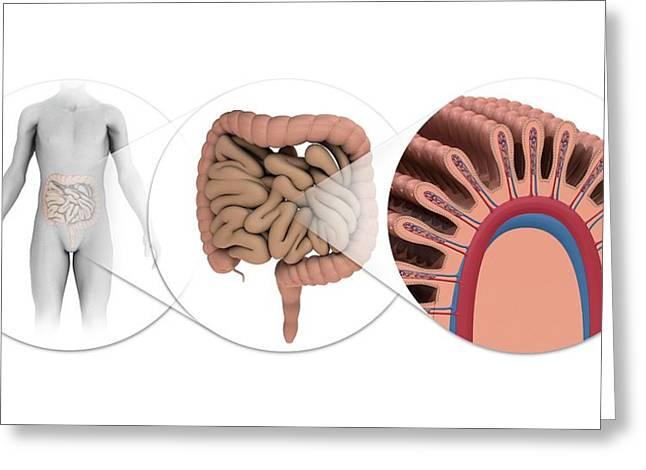 Human Intestines Greeting Card